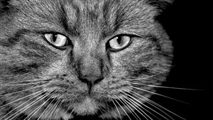 Animal Cat Close Up Face Image