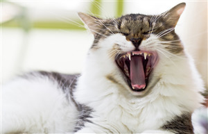 Animal Cat Yawn