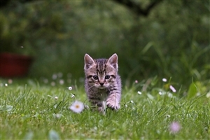 Beautiful Kitten Walking on Green Grass HD Pets Animal Wallpaper