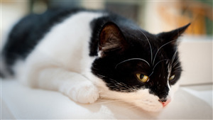 Black and White Cat Photo Free Download