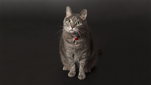 Brown Cat Wallpaper in Black Background