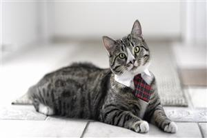 Cat Wear a Tie