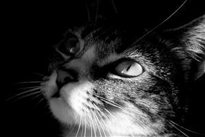 Cat in Black Background