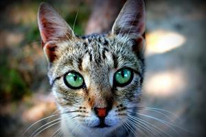 Closeup Face of Cat Free Wallpaper