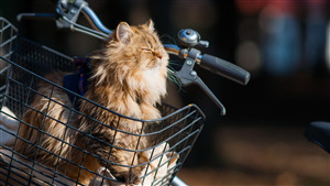 Cute Cat in Bicycle Basket