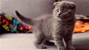 Grey Cat Baby Superb Wallpaper