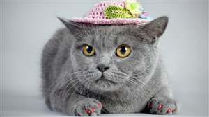 Grey Cat Wear Cap Amazing Wallpaper