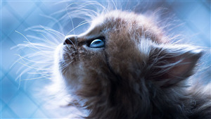 Little Cat Blue Eye Famous Wallpaper