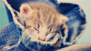 Lovely Cat Sleepng Pic Download