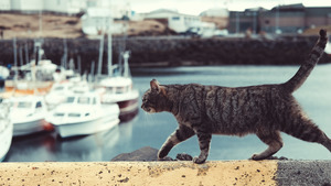 Strong Cat Walking 5K Wallpaper