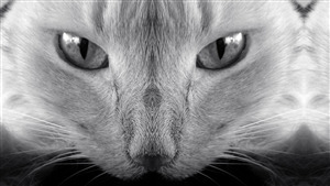 White Cat Close Face Image Download