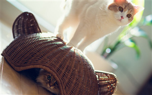 White Cat and Other Cat Inside Basket