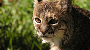 Wild Cat Face Photo