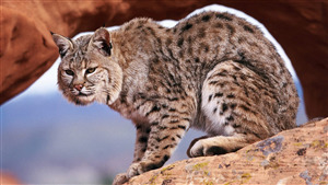 Wild Cat Wallpaper Free Download