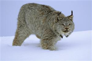 Wild Cat in Snow