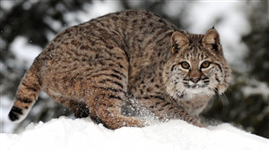 Wild Cat in Snow Image