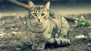 Wildlife Cat Wallpaper