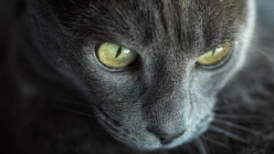 Yellow Dangerous Eye of Grey Cat 5K Wallpaper