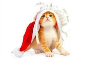 Wide Cute Cat with Christmas Free Images