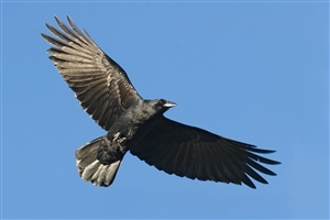 African Crow in Sky Wallpaper