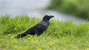 Beautiful Bird Crow