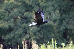Bird Crow Flying HD Photo