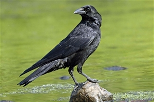 Black Crow New Birds HD Wallpapers