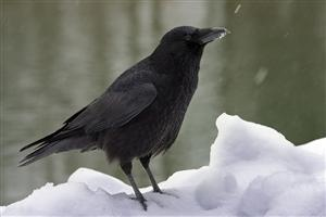 Carrion Crow Sitting on Snow