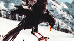 Crow Feeding HD Wallpaper