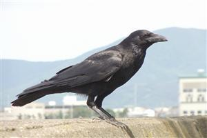 Crow Sitting on Wall