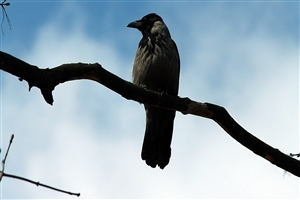 Crow on Tree Branch Photo