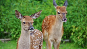 2 Beautiful Chital Deer 4K Image