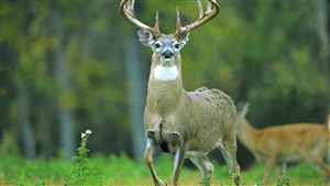 Animal Deer 5K Desktop Background Picture