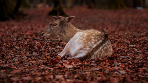 Animal Deer Sitting in Red Leaves 5K Wallpaper