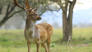 Animal Deer Wallpaper