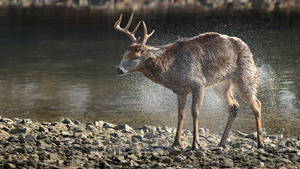 Animal Deer at River Shore