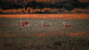 Animal Deer in Dry Grass 5K Wallpaper