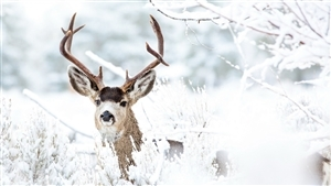 Animal Deer in Snow