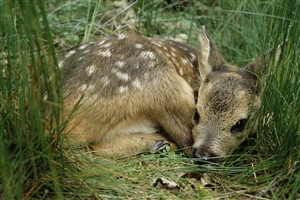 Baby Deer Sleeping in Jungle Wallpaper