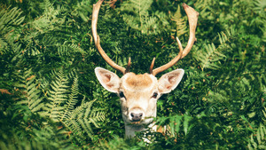 Beautiful Deer and Antler in Green Background