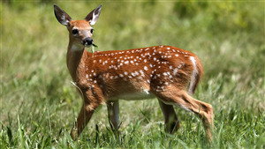 Cute Baby Chital Deer in Green Grass 3K Wallpaper