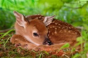 Deer Calf in Grass