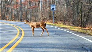Deer Crossing Road 4K Photo