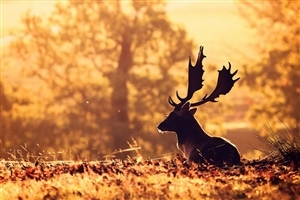 Deer Desktop Background Photo