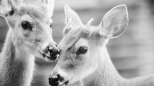 Deer Love in Black and White Background