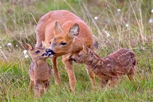 Deer with Beautiful Baby Calf
