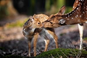 Deer with Child HD Wallpaper