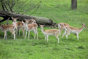 Fallow Deer in Group Image