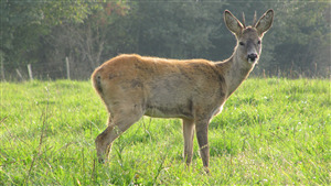Free Download Image of Roe Deer