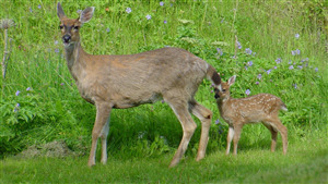 Lovely Child Deer with His  Mother Pic Download